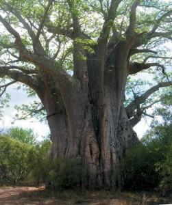 Albero gigante