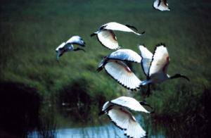 Bacci Volo di uccelli