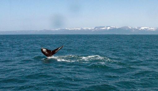 Husavik balene