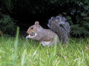 INGHI scoiattolo