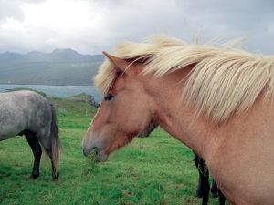Islanda '03 cavalli