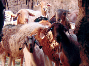 Libia Bacci 065 pecore