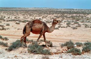 Libia Dromedario