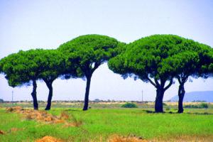 Pini in Toscana
