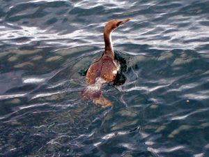 Uccello mare